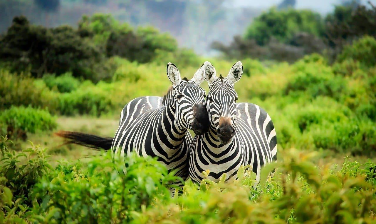 ジャングルにシマウマ二頭